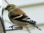 Goldfinch (12/26/01)