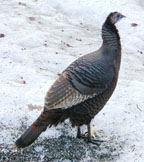 Female Turkey